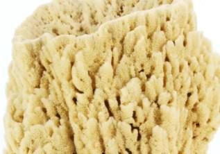 image of Spongia officinalis (Bath sponge