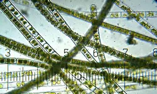image of Algae structure