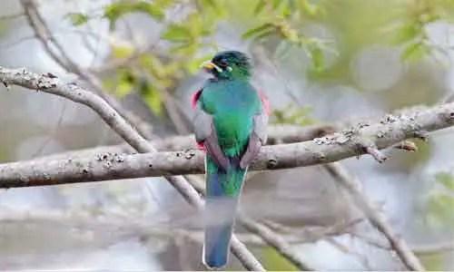 image of Apaloderma narina