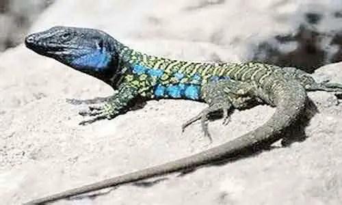 image of Atlantic Lizard (Gallotia atlantica)