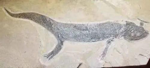 image of Branchiosaurus salamandroid