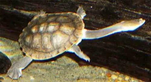 image of Common snakeneck turtle (Chelodina longicollis)