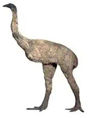 image of Dinornis robustus