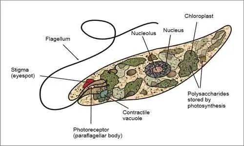 image of Euglena