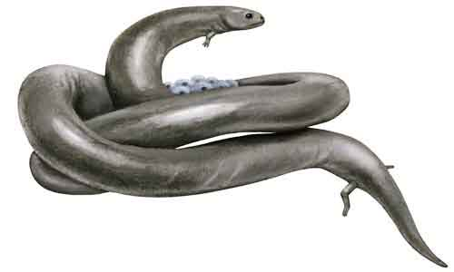 image of Lysorophus