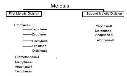 image of Steps of Meiosis