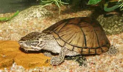 image of Mud-or-musk-turtles,-Common-mus