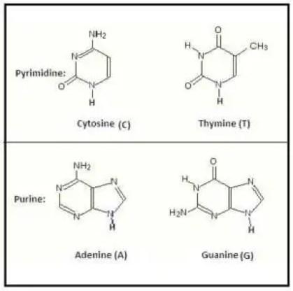 image of Nitrogenosu bases