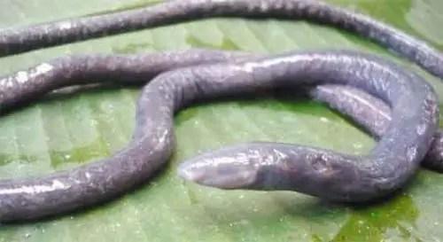 image of Oscaecilia elongate