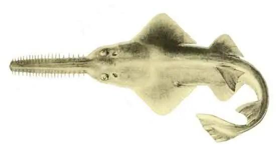 image of Pristis clavata
