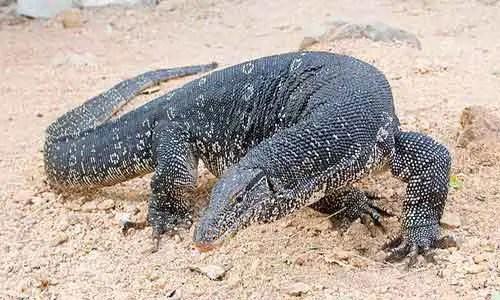 image of Water-monitor-(Varanus salvator)