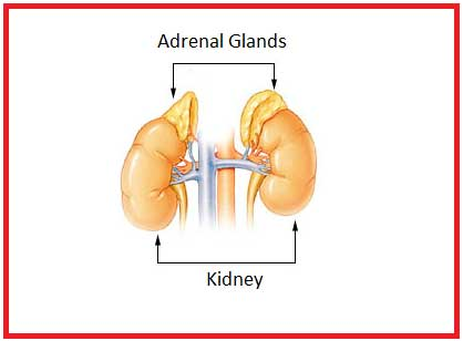 image of Adrenal gland