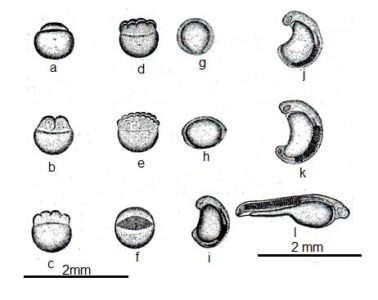 image of Embryonic development of Rui