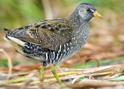 image of Spotted crake