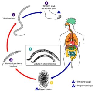 Image of Life cycle of Hookworm