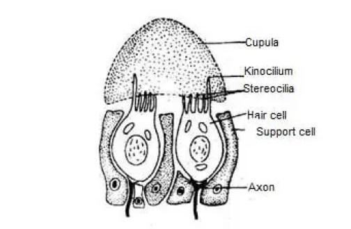 image of Neuromast organ