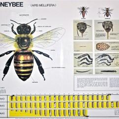 Diagram Of A Queen Bee 68 Camaro Wiring Biology In Life Using To Understand