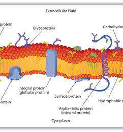 cell membrane phospholipid bilayer structure [ 1858 x 1056 Pixel ]