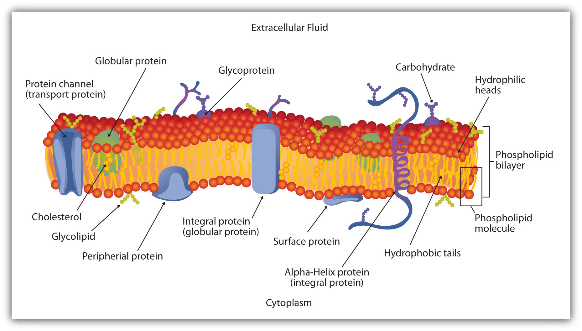 hight resolution of cell membrane phospholipid bilayer structure