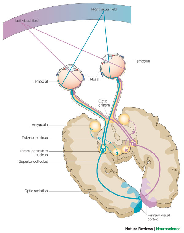 large intestine diagram blank electricity wiring 3.2.1.3. visual pathways | biolulia european sections