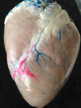 An actual front view of a heart (latex-injected)