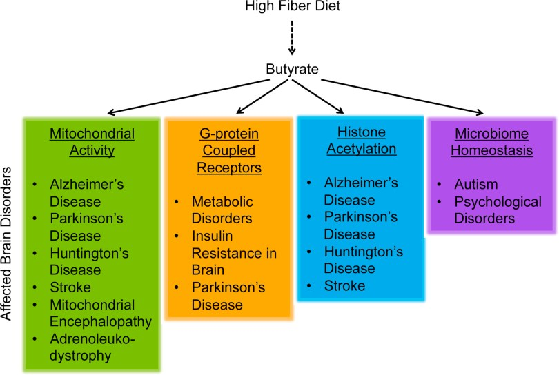 [Bourass et al, 2016] Butyrate, neuroepigenetics and the gut microbiome: Can a high fiber diet improve brain health?