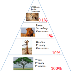 Savanna Food Chain Diagram 2001 Honda Civic Transmission Energy Pyramid - Tropical Grasslands And Savannas