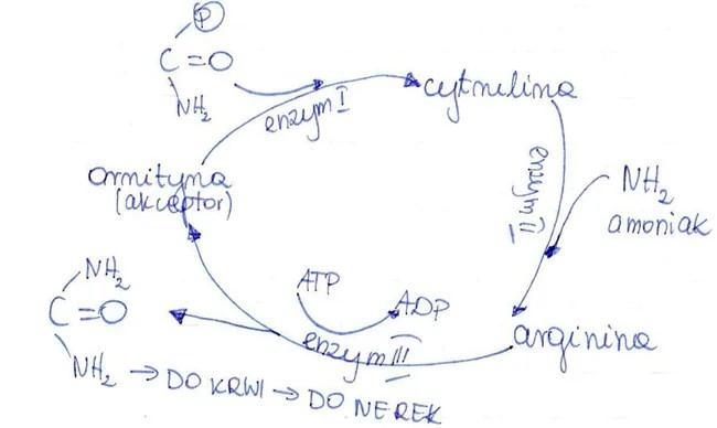 cykl_mocznikowy