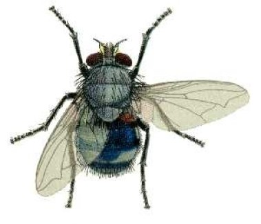 4 Calliphora_vicina_from_CSIRO