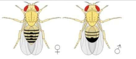 Muszka owocowa (Drosophila melanogaster - wyraźny dymorfizm płciowy