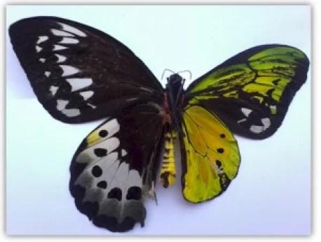Przykład organizmu będącego gynadomorfem. Łuskoskrzydłe (Lepidoptera)