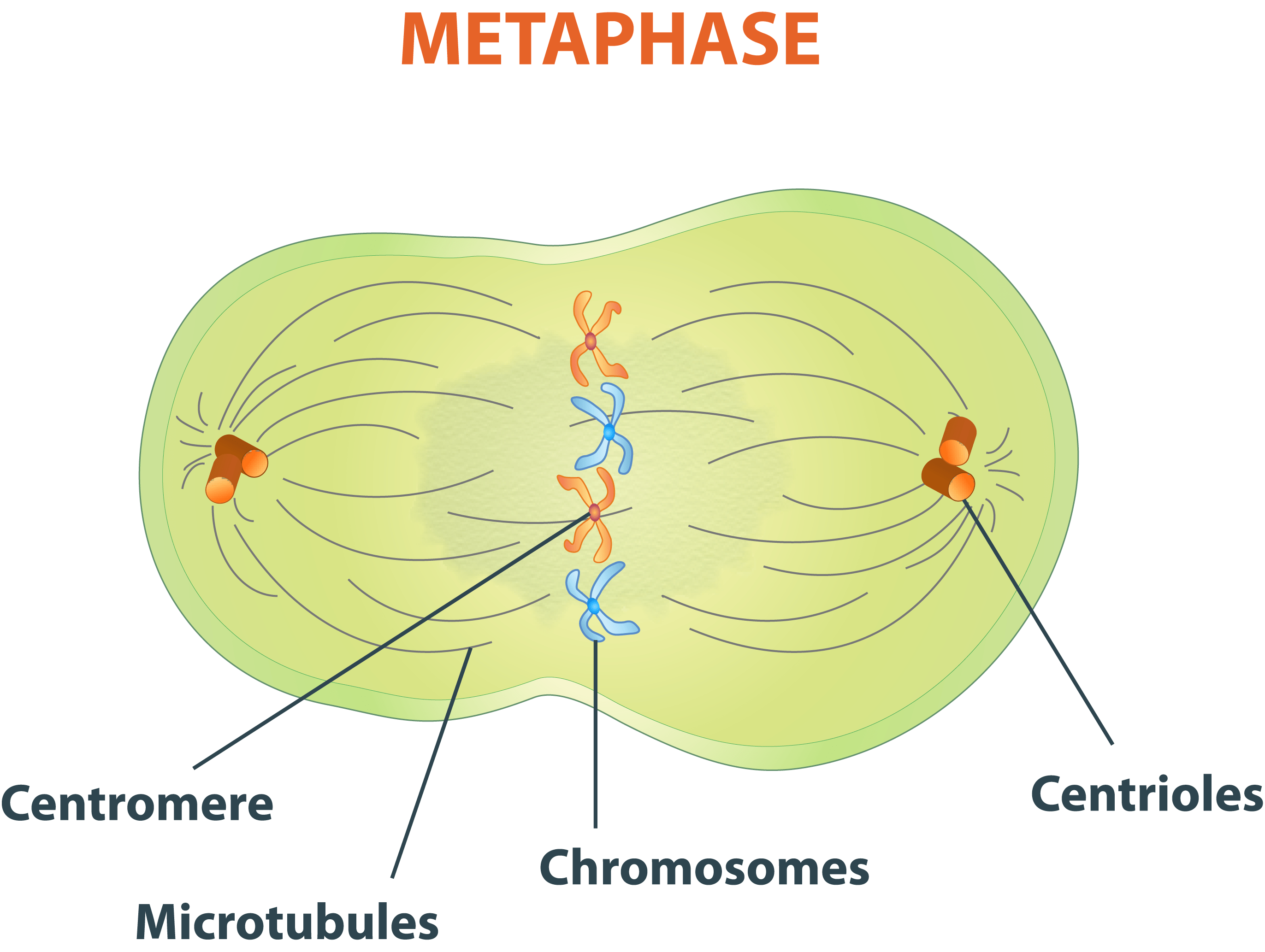 meiosis 1 diagram honeywell zone valves wiring interphase labeled related keywords