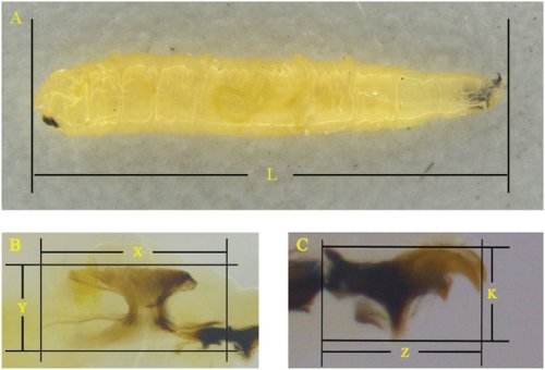 small resolution of schematic diagram of the measurements for bactrocera dorsalis larvae a body length of b dorsalis larvae l b pharyngeal sclerite length x and width