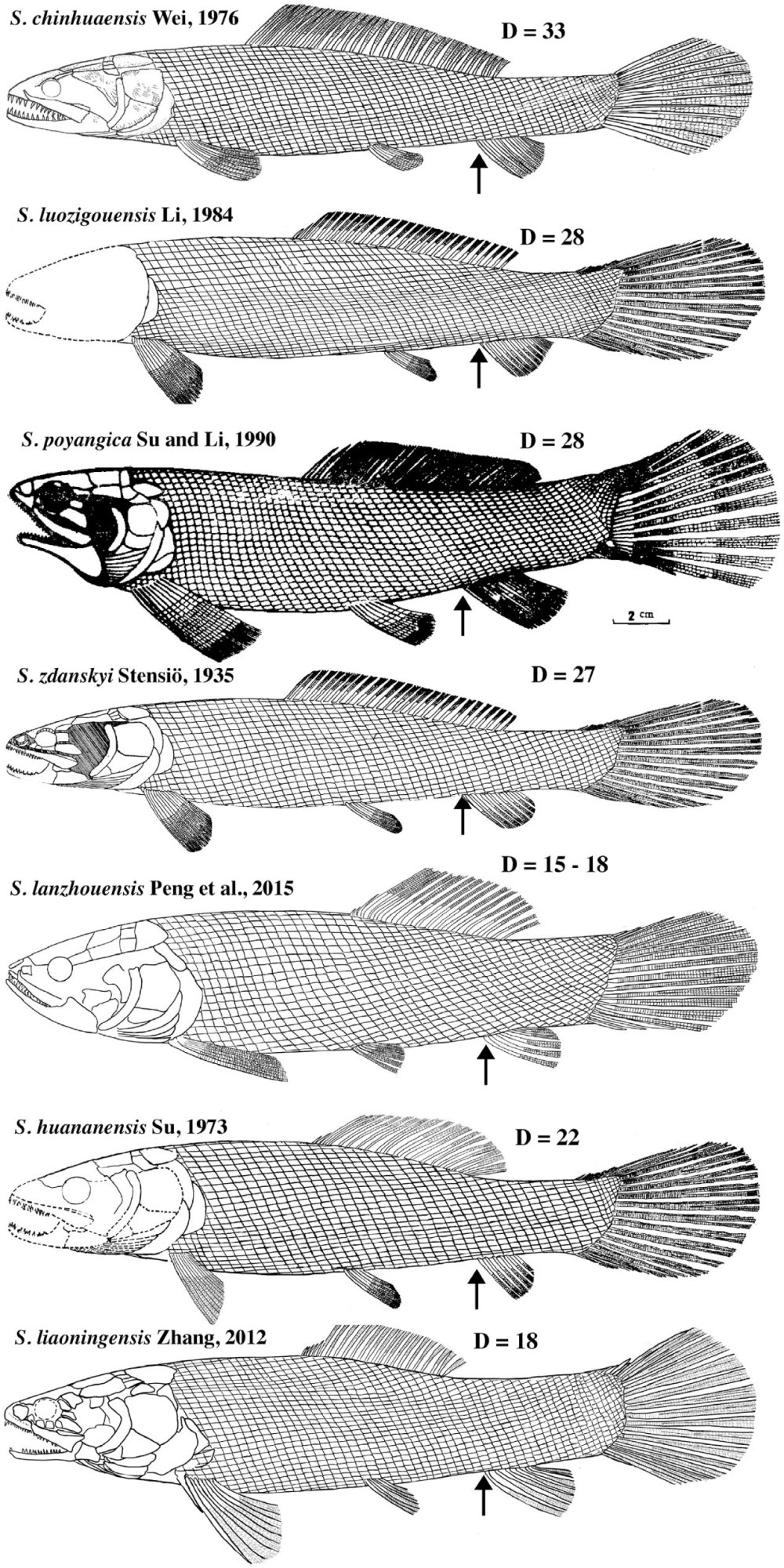 medium resolution of arrows show the position of the origin of the anal fin d number of dorsal fin rays restoration of s poyangica from su and li 1990 and s zdanskyi