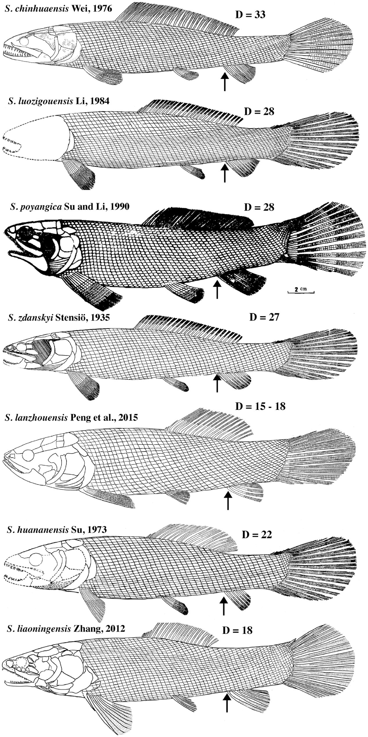 hight resolution of arrows show the position of the origin of the anal fin d number of dorsal fin rays restoration of s poyangica from su and li 1990 and s zdanskyi