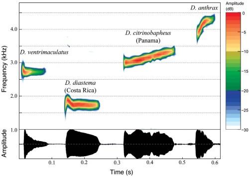 small resolution of  diastema ku65743 65744 alajuela costa rica d citrinobapheus holotype smf89814 western panama and d anthrax mhua 7303 antioquia colombia