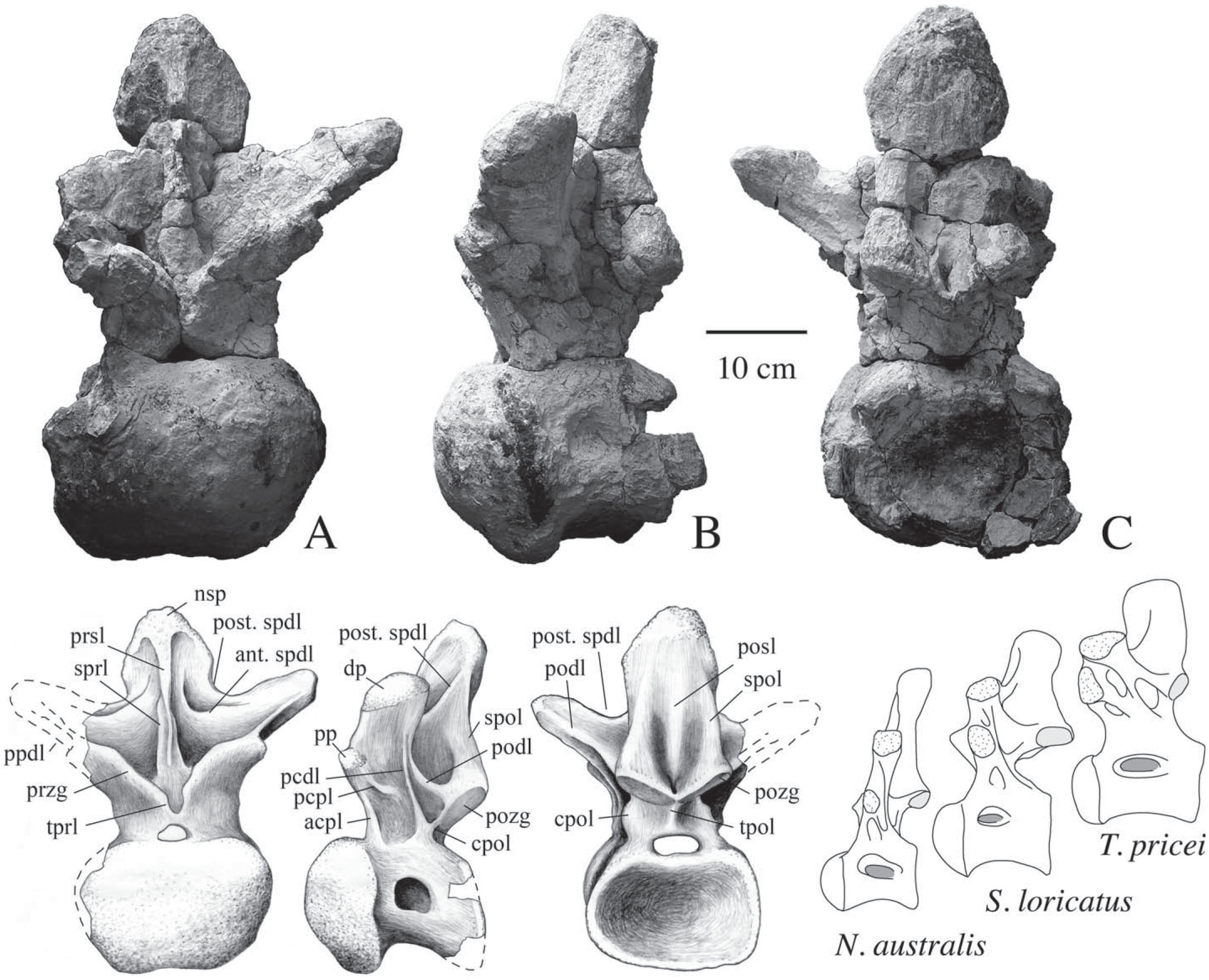 New Specimens of a Titanosaur Sauropod from the