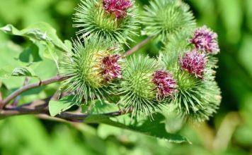 Burdock – Healthy Food and Effective Herbs Medicinal Plant