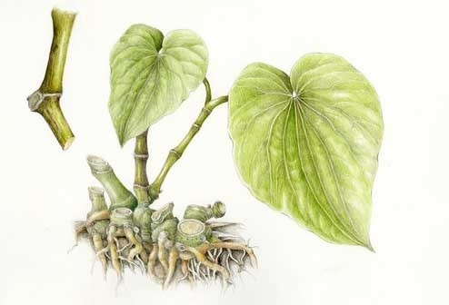 Kava Herbs That Use Both Of Remedies And Social Occasion