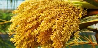Palm Pollen