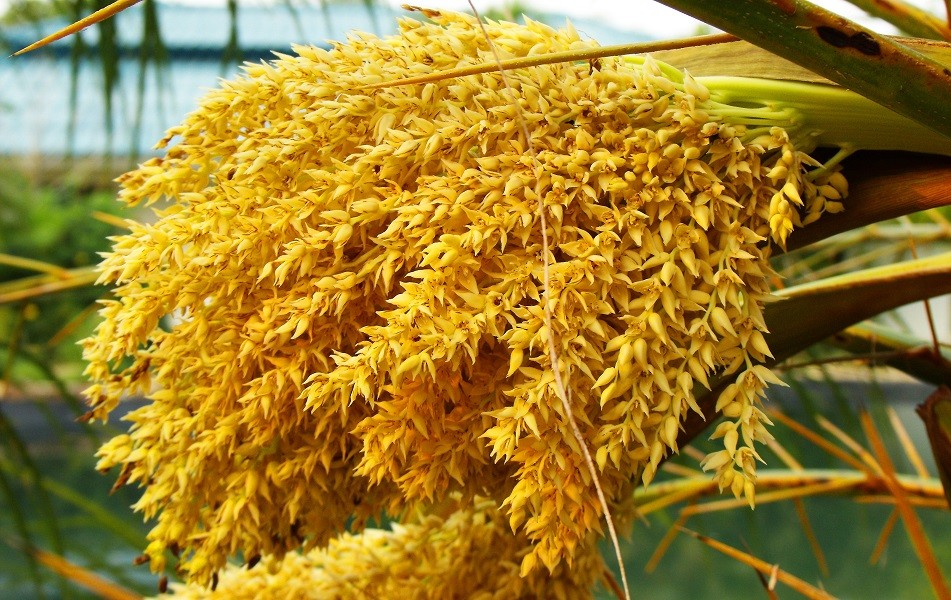 What is Palm Pollen?