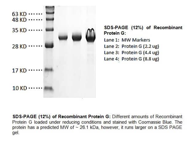 重組蛋白G   Protein G BioVision代理   太鼎生物科技