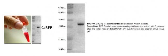 RFP重組蛋白(dsRed)   Recombinant RFP (dsRed) 貨號4997   太鼎生物科技