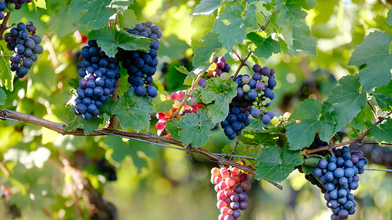 wine grape bioplastics