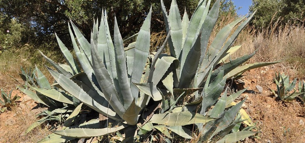agave bioplastics