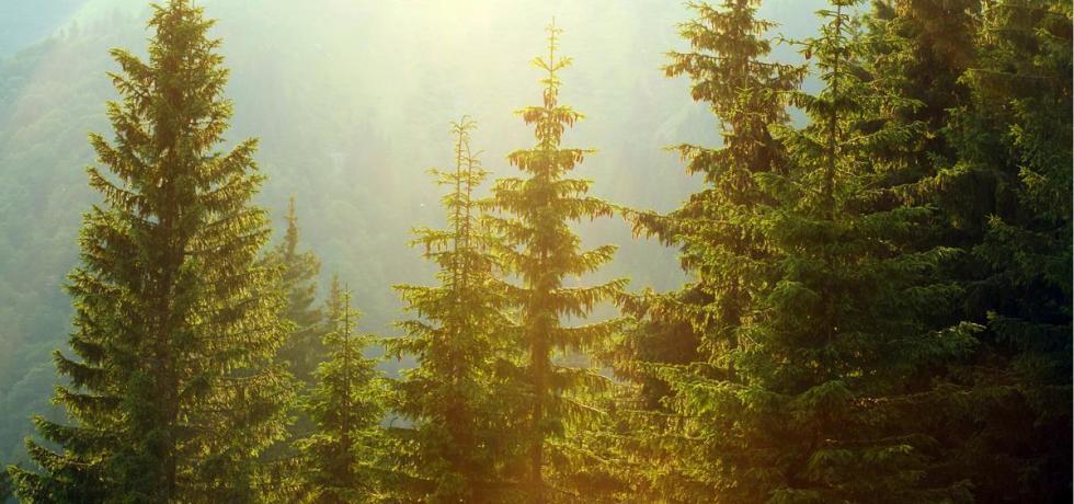 pine trees bioplastics