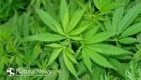Канабис-марихуана