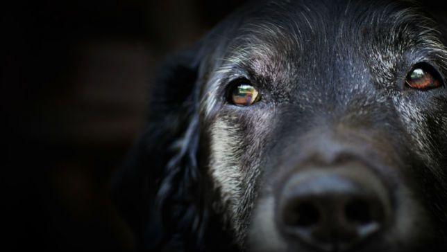 CCD - old dog