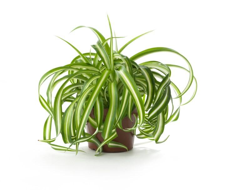 plante-depoluante-chlorophytum-plante-araignee