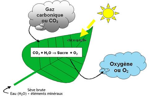plantes-depolluantes-photosynthese